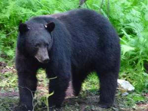 Bears in Panthertown | Friends of Panthertown