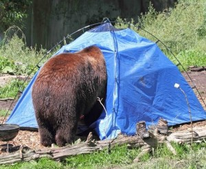 Black Bear in Tent (Source: Woodland Park Zoo)